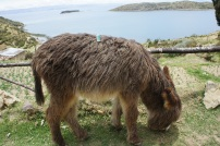 Ass-ing around on Lake Titicaca
