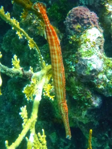 Orange trumpet fish