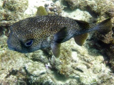 Porcupine fish or puffer fish